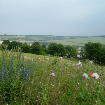 Kent Downs fields / flowers (Clem Rutter, Rochester, Kent. / CC BY-SA (http://creativecommons.org/licenses/by-sa/3.0/))